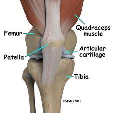 knee  anatomy 1